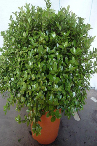 Pittosporum boule