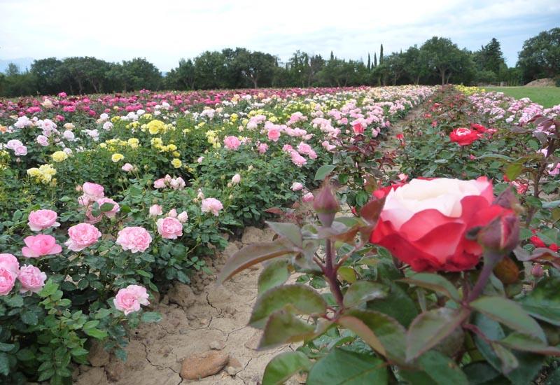 Le champs de rosiers en juin