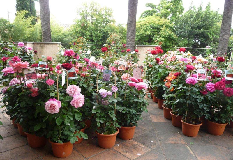 Rosiers fleuris en pots