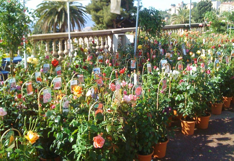 Exposition de rosiers fleuris