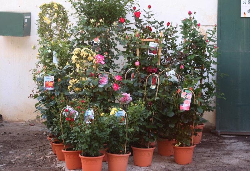 Divers types de rosiers