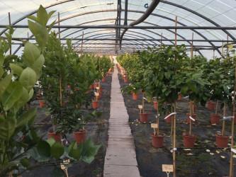 rosiers-vessieres-nos-agrumes-St-Feliu-d-Avall