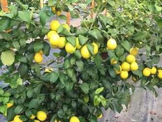 citronnier-roseraie-vessieres-04
