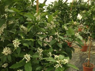 nos-agrumes-en-fleur-roseraie-vessieres-02